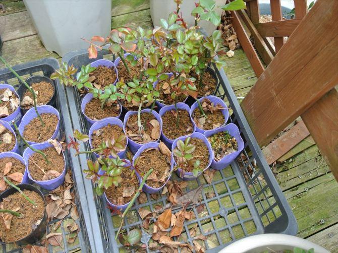 バラの挿し木に芽が出てます 今年は40本ぐらい挿してます イベントで皆さんに配布します